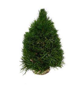 Arbol pinus 30 - ARBPIN