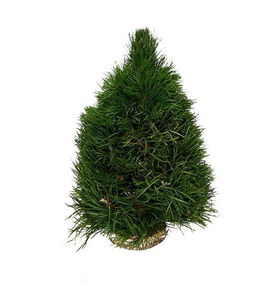 Arbol pinus 40 - ARBPIN
