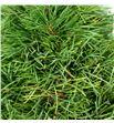 Arbol pinus 40 - ARBPIN1