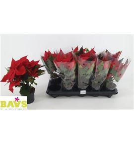 Pl. euphordia titan red 30cm x10 - EUPRED1051030