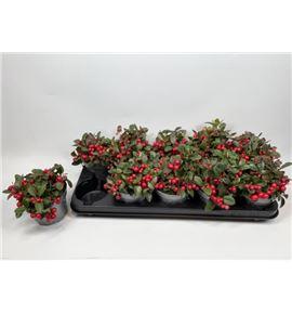 Pl. gaultheria big berry 13cm x10 - GAUBIG101213