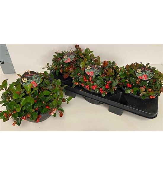 Pl. gaultheria procumbens 25cm x3 - GAUPRO31925