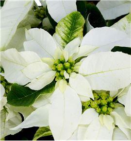 Pl. poinsettia blanca 40cm x7 - POIBLA71440