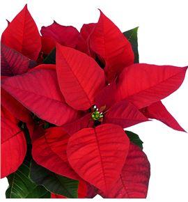 Pl. poinsettia roja 35cm x12 - POIROJ121235