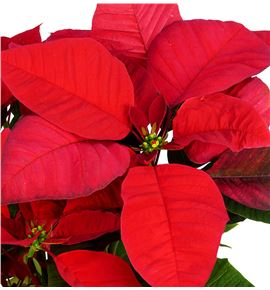 Pl. poinsettia roja 50cm x7 - POIROJ71450