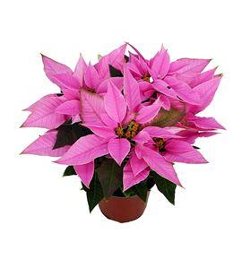 Pl. poinsettia rosa 40cm x7 - POIROS71440