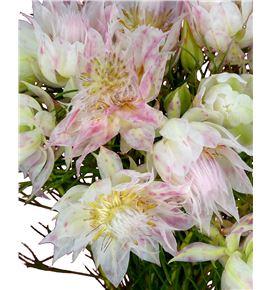 Serruria florida 40 - SERFLO
