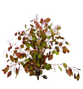 Eucaliptu polyanthemos teñido 70 - EUCPOLTEN