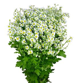 Tanacetum single vegmo 55 - TANSINVEG