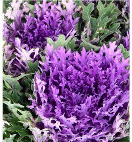 Brassica rizada morada - BRARIZMOR