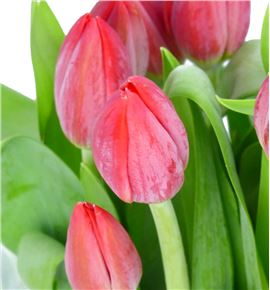 Tulipan friend red 37 - TULREN