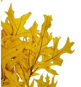 Querqus preservado amarillo - QUEPREAMA