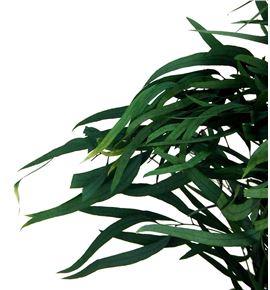 Eucaliptus preservado nicholii - EUCPRENIC
