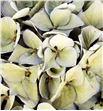 Hydrangea seca azul/verde - HYDSECAZUVER1