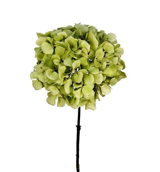 Hydrangea seca verde - HYDSECVER