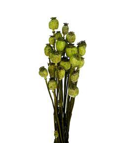 Papaver seco verde - PAPSECVER