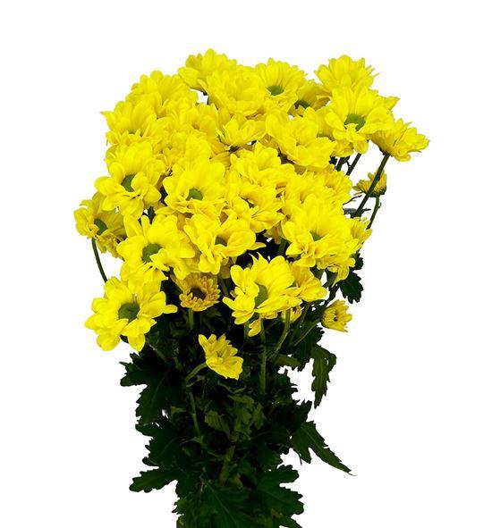 Marg hol yellow strike - MHYELSTR