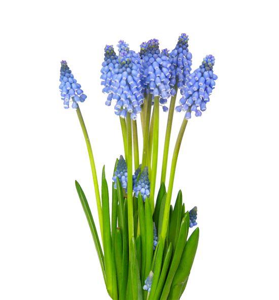 Muscari azul 26 - MUSCAR