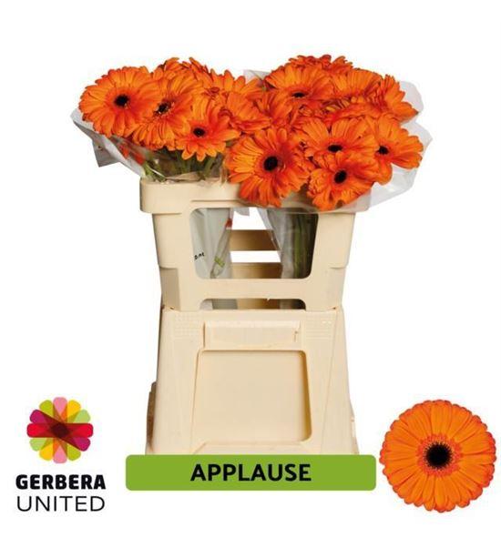 Gerbera applause 50 x10 - GERAPP5010