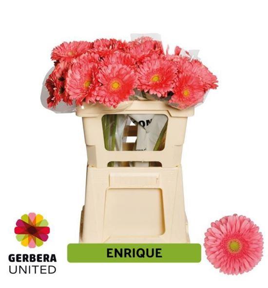 Gerbera enrique 50 x10 - GERENR5010