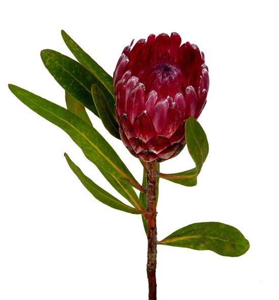 Protea lancelot 40 - PROLAN