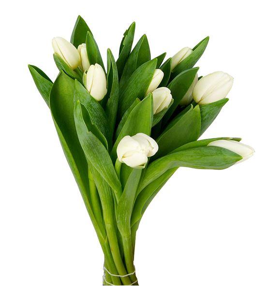 Tulipan antarctica 38 - TULANT