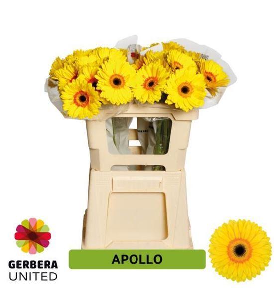 Gerbera apollo 50 x10 - GERAPO5010