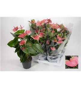 Pl. anthurium karma pink x6 60cm - ANTKARPIN61760