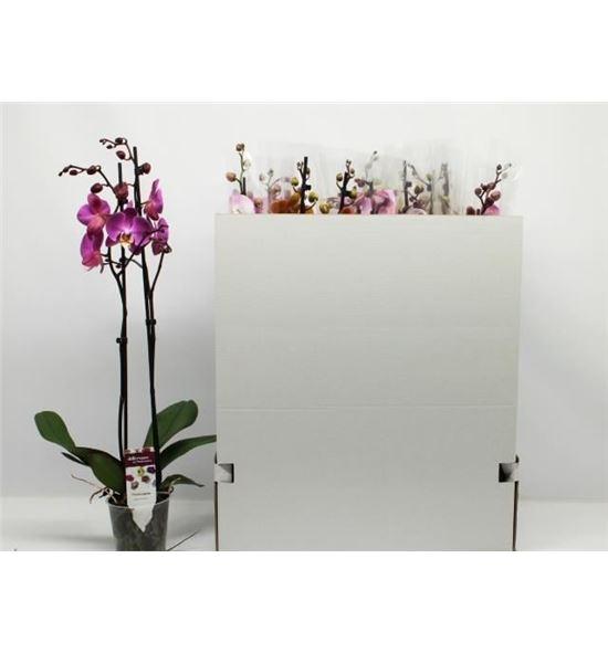 Pl. phalaenopsis mixta 12kl 2t 65cm x12 - PHAMIX1212652