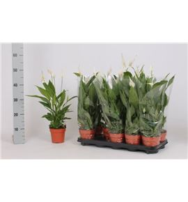 Pl. spathiphyllum alana 50cm x10 - SPAALA101250