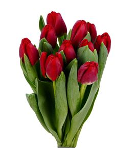 Tulipan antarctic fire 34 - TULANTFIR