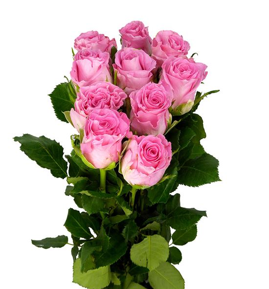 Rosa hol seductive 50 - RGRSED