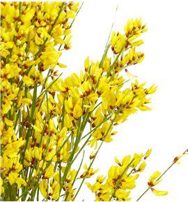 Genista teñida amarilla 65 - GENAMA