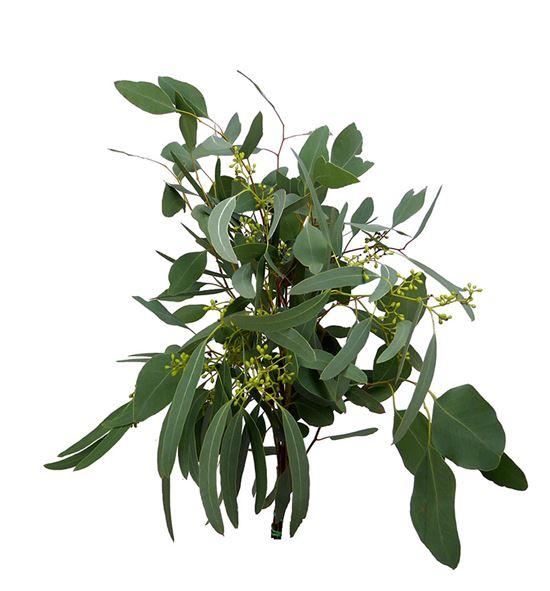 Eucaliptu populus frutos 50 - EUCPOPFRU