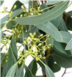 Eucaliptu populus frutos 50 - EUCPOPFRU1