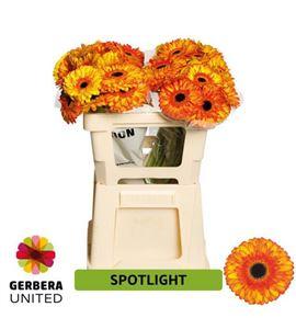 Gerbera spotlight 50 x10 - GERSPO5010