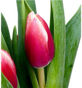 Tulipan timeless 36 - TULTIM