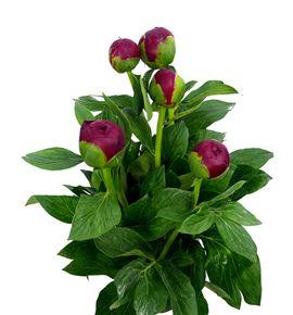 Paeonia henry bockstoce x5 45 - PAEHENBOC