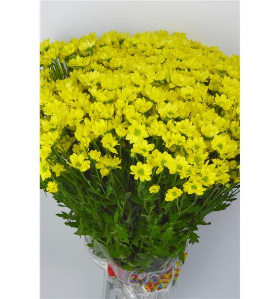 Cr santini mad ringa yellow 55 - CRSMADRINYEL