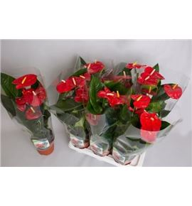 Pl. anthurium aloha red x6 65cm - ANTALORED61765