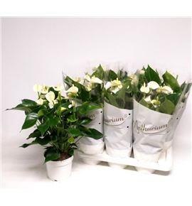 Pl. anthurium white champion x6 60cm - ANTWHICHA61760