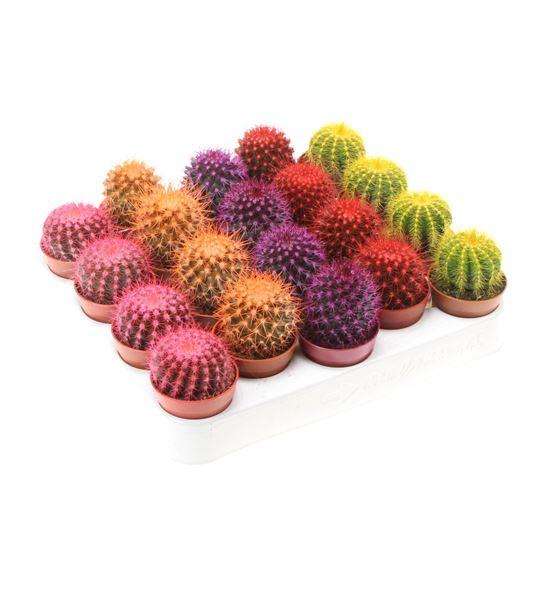 Pl. cactus rainbow x20 8cm - CACRAI205058