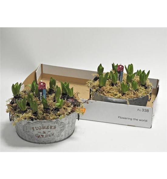 Pl. composicion hyacinthus 25cm x2 - COMHYA225
