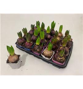 Pl. hyacinthus mixto 4kl 10cm x20 - HYAMIX420710