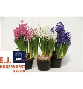 Pl. hyacinthus multiflora 4kl 15cm x10 - HYAMUL4101015