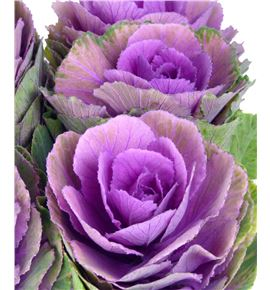 Brassica morada x5 - BRAREDCRA