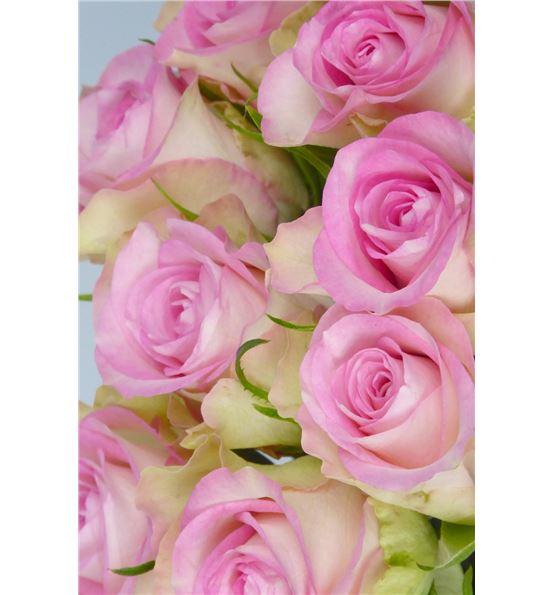 Rosa Hol Lovely Jewel 40