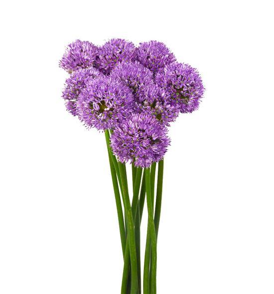Allium gladiator 60cm - ALLGLA