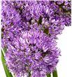 Allium gladiator 60cm - ALLGLA1