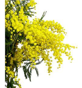 Mimosa bailey 55 - MIMFLO